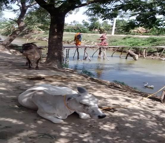 20150710_india_cow.jpg
